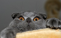 animals___cats_playful_gray_scottish_fold_cat_045204_.jpg