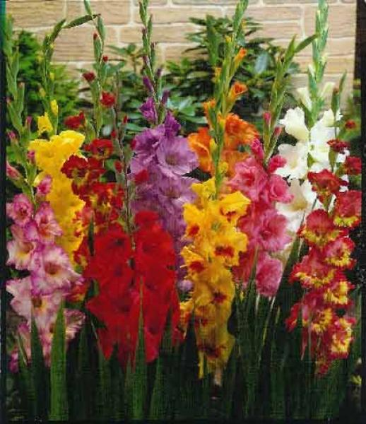 схемы цветы гладиолусы